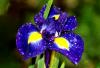 Пользователь Iris