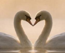 Фотография лебедь