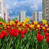 Две тысячи тюльпанов расцвели в Академическом
