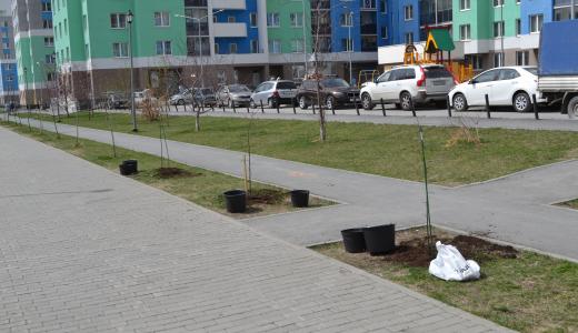 Сотрудники ТФОМС на субботнике в пятом квартале высадили молодые деревья