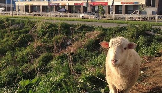 У батута на Де Геннина несколько дней пасётся без хозяина привязанная за ногу овца