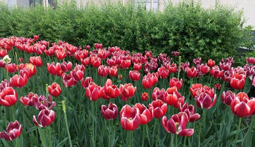 Цветочные узоры на клумбах: в Академическом высадили тысячи растений