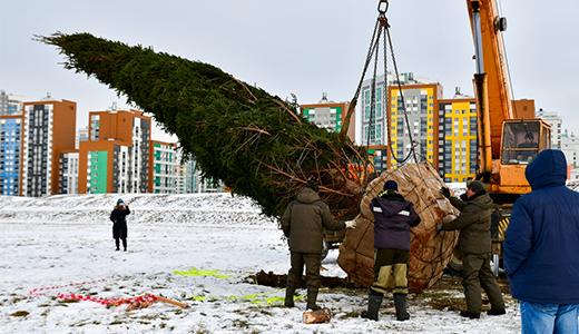В Преображенском парке высадили 10-метровую сибирскую ель