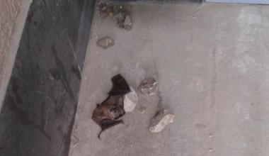 Нашествие летучих мышей в Академическом