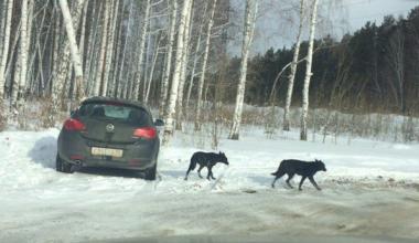 «Спецавтобаза» не нашла бродячих собак в Академическом