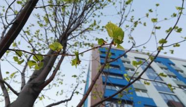 Более 20 крупных лип высадили в нулевом квартале