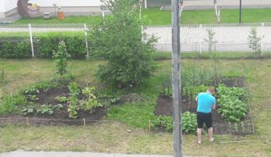 Огород на газоне: житель Академического района выращивает рядом с домом зелень и овощи