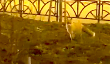 Житель снял на видео прогуливающуюся по проспекту Академика Сахарова лису