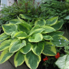 Hosta_Wide_Brim_20120601