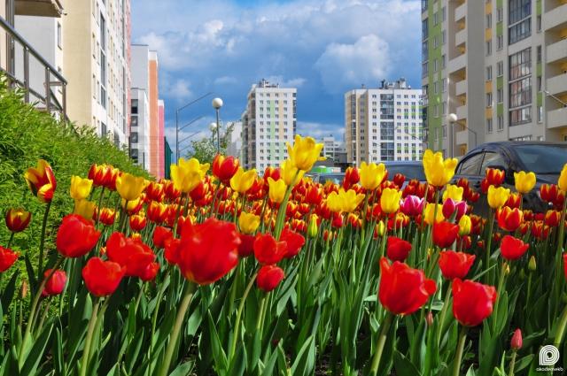 Тюльпаны возле офиса управляющей компании во втором квартале Академического
